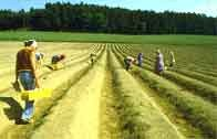 White Spargel Farmers